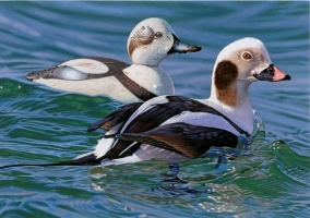 Long-Tailed Duck with Decoy, Joshua Spies